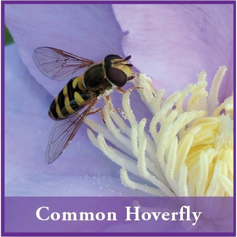 Diseases_bee